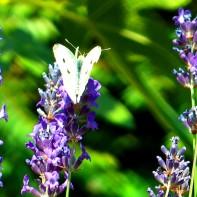 Ein Schmetterling im Juli 2014