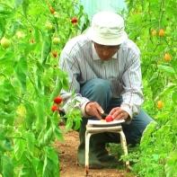 Mitso beim Tomaten verkosten