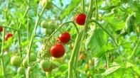 Reife Bio-Tomaten im Gewächshaus der Shumeis im Spätsommer 2012
