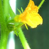 Blüte einer Gurkenpflanze im Frühjahr 2012