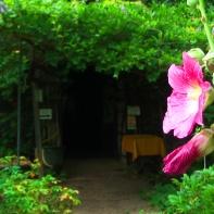 """Stockrose """"Malve"""" - Im Film """"Shumei Natural Farm"""" spielt dieses Bild eine tragende Rolle."""