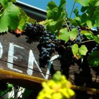 Königskerzen und Wein