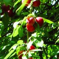 Harte Schale, saurer Inhalt - die japanische Wildpflaume